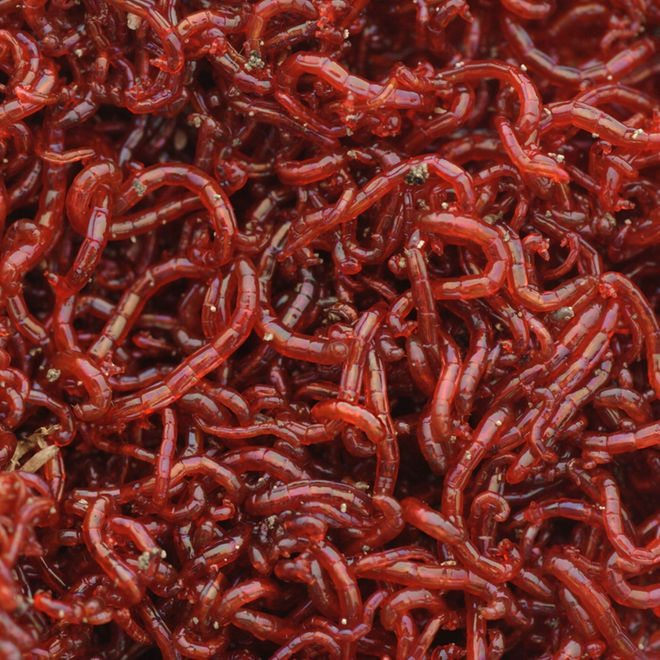 real-bloodworms