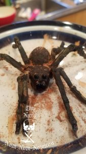 Chocolate Spiders